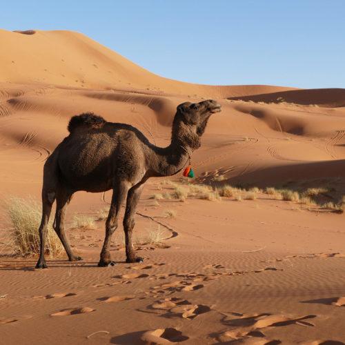 wielbłąd, maroko